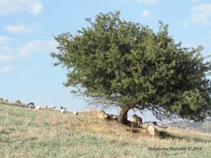 Meglio le capre che le pecore